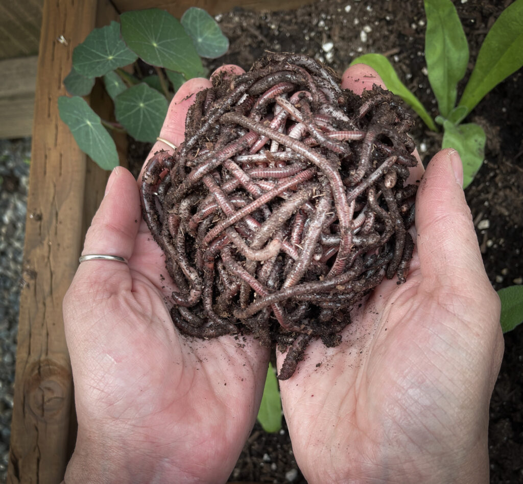 Favorite gardening Tools 15. Hands holding the best worms for raised beds with plants on the background.