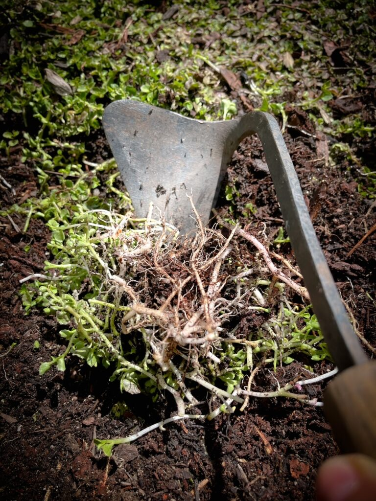 Favorite gardening Tools 22. Top Gardening Hand tool being use starting to rip plant from the soil.