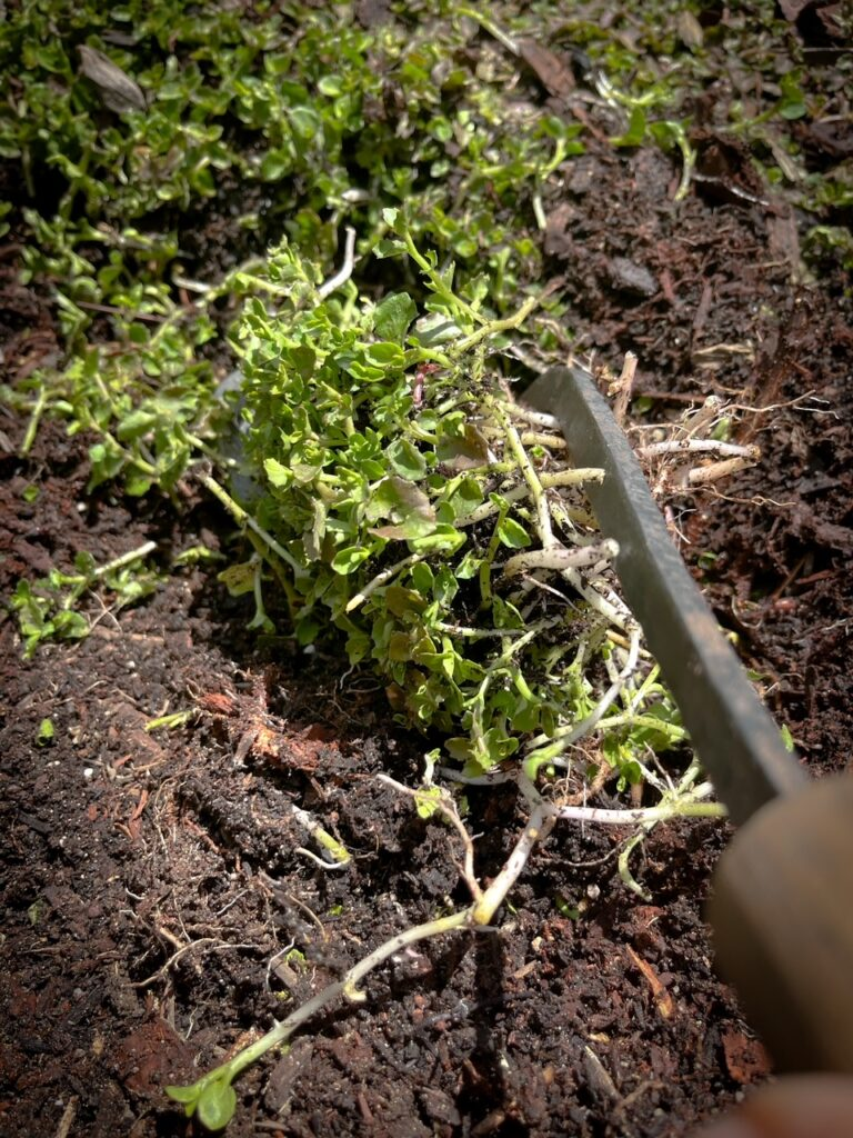 Favorite gardening Tools 23. Top Gardening Hand Tool ripping the plant from the soil.