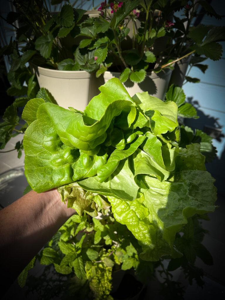 hand holding salad green harvest.