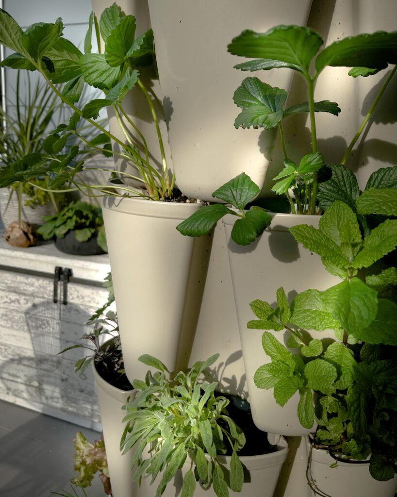 Favorite gardening Tools 17.   Detail image of herbs on vertical garden.
