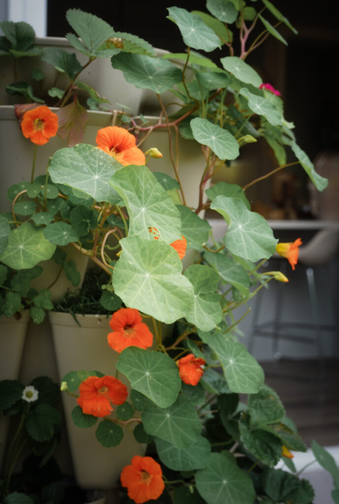Favorite gardening Tools 19. Favorite Plant showing Large leaves and orange flowers close up on the tiered planter.