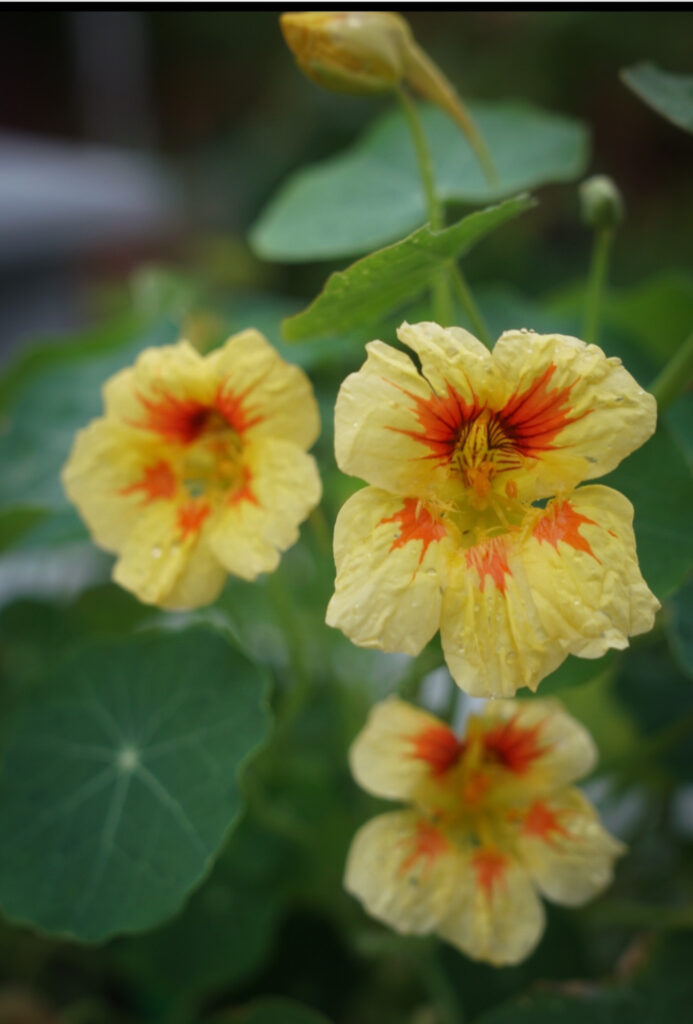 Favorite gardening Tools 20. Favorite plant with Yellow flower close up.