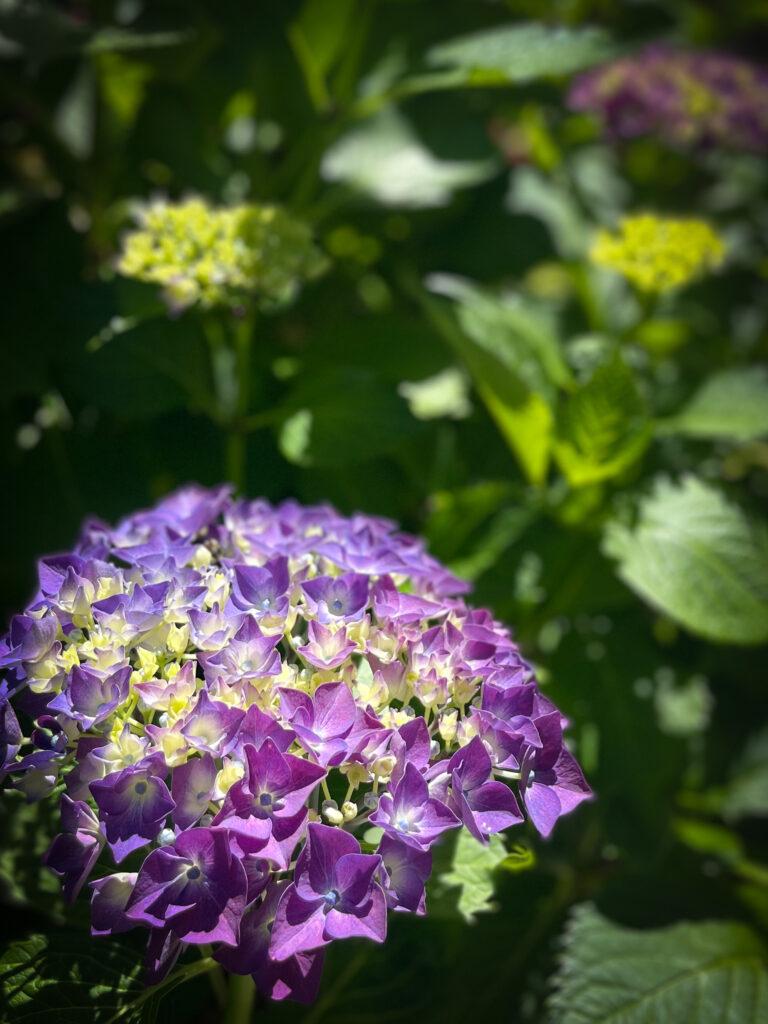 Dream Garden Hydrangea