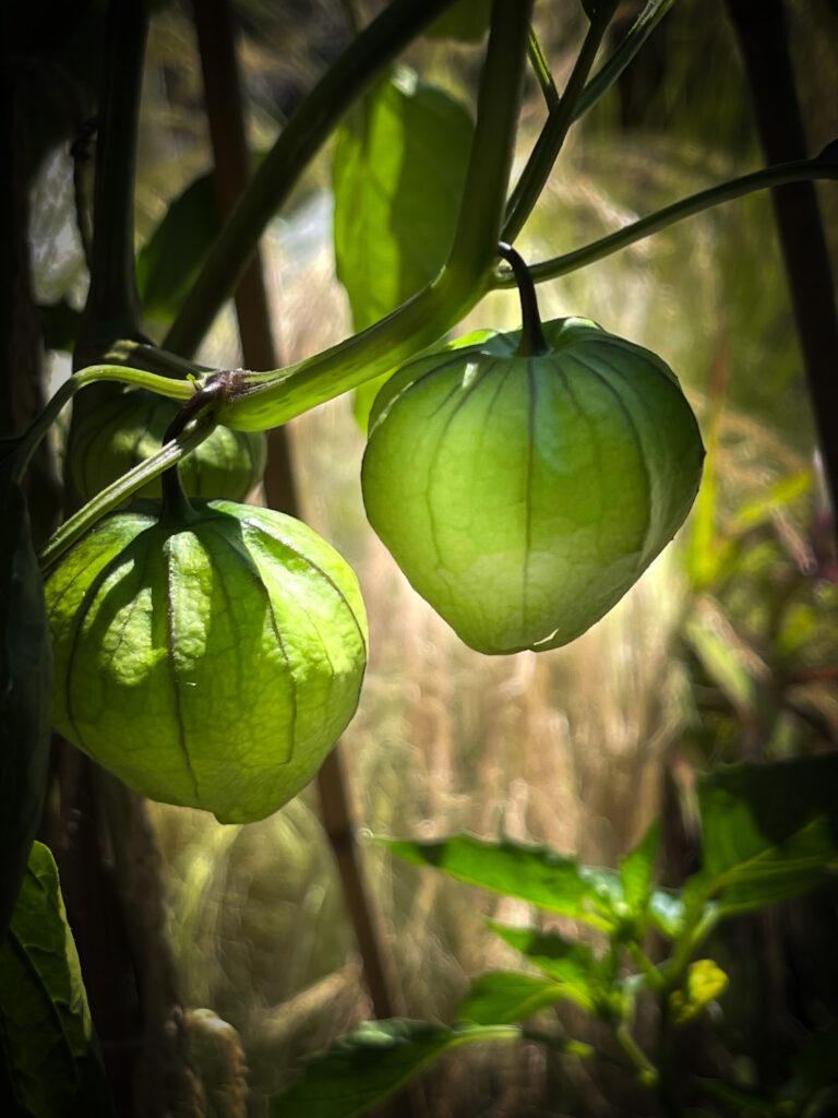 Dream Garden Tomatillos