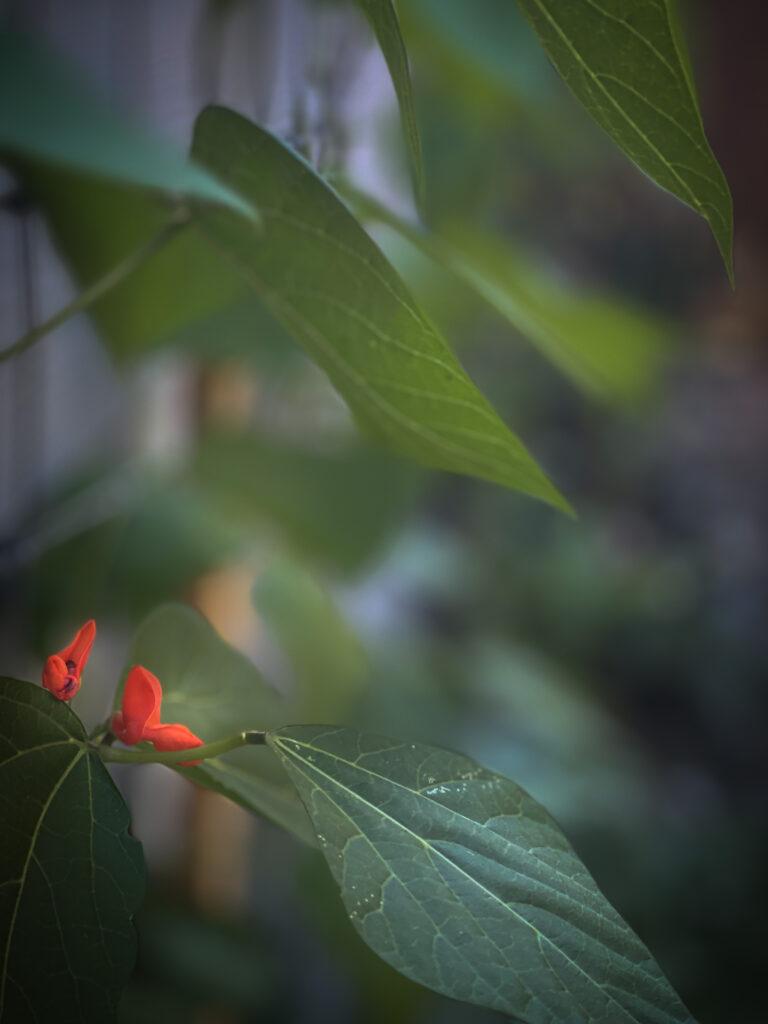 Dream Garden Scarlet Plant
