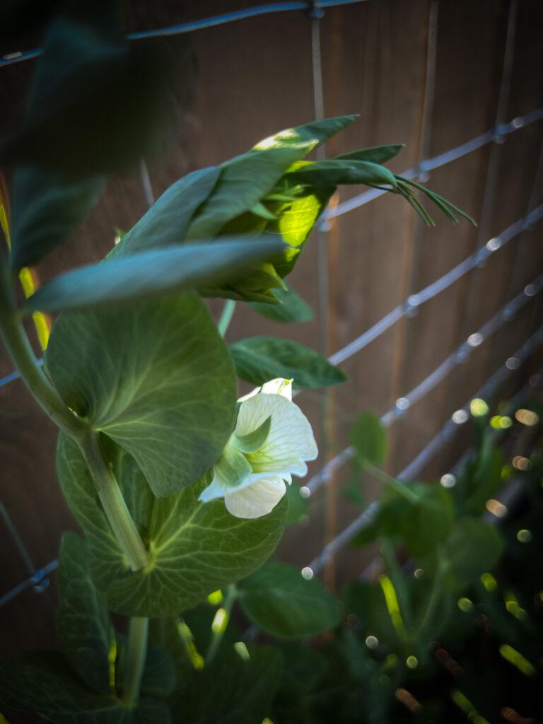 Dream Garden snap Pea
