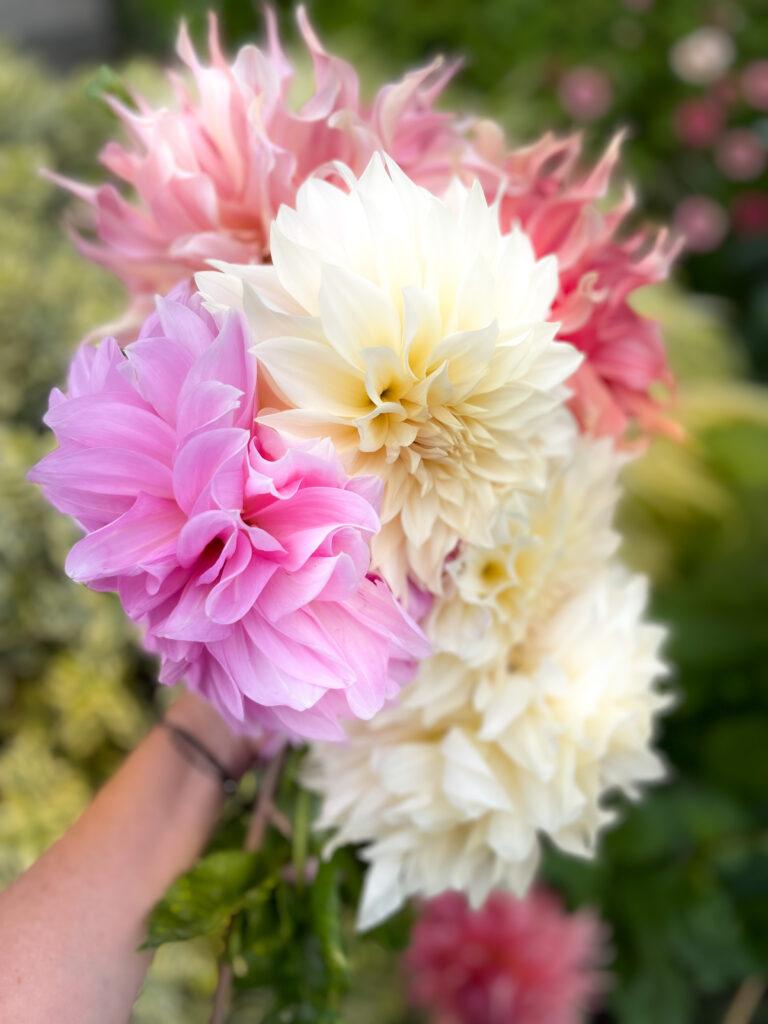 Dahlias not blooming Handful