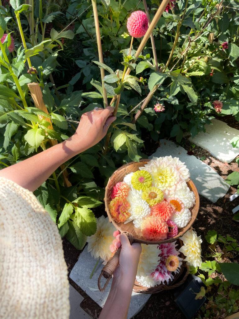 Dahlia flower cutting